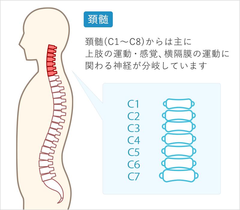 頚髄(C1~C8)からは主に上肢の運動・感覚、横隔膜の運動に関わる神経が分岐しています