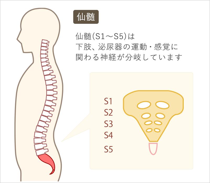仙髄(S1~S5)は下肢、泌尿器の運動・感覚に関わる神経が分岐しています