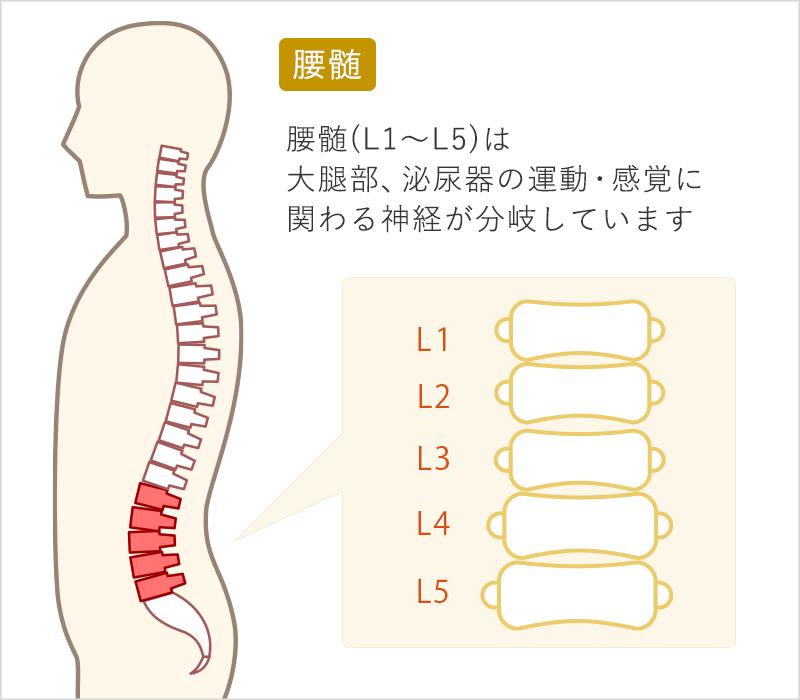 腰髄(L1~L5)は大腿部、泌尿器の運動・感覚に関わる神経が分岐しています